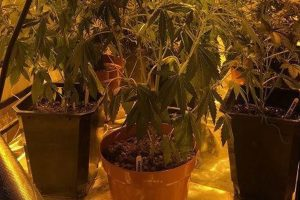Cannabis plant - Ludgershall