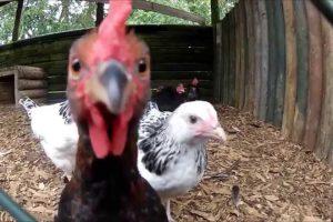 MOD kills chickens in Hampshire