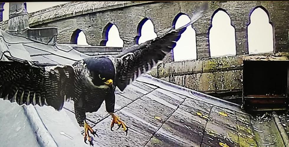 Peregrine Falcons Andover