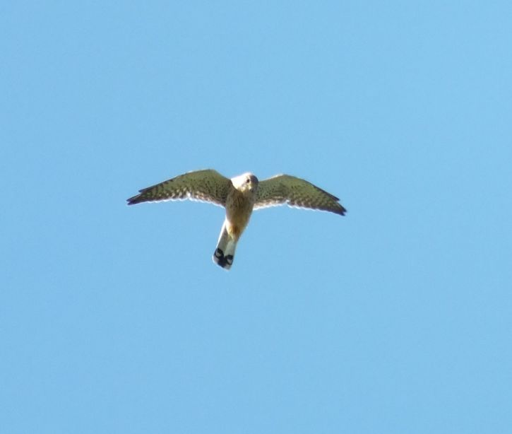 Kestrel-Falco-tinnunculus-18.9.20.Butterrow-Hill-1