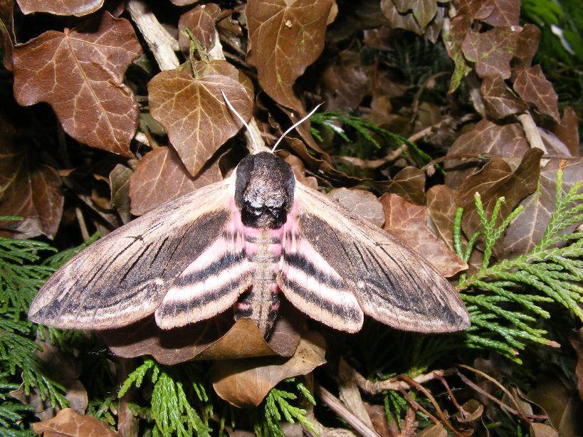 Privet-Hawk-moth-Sphinx-ligustri-11.6.16.Vitacress-Abbotts-Ann