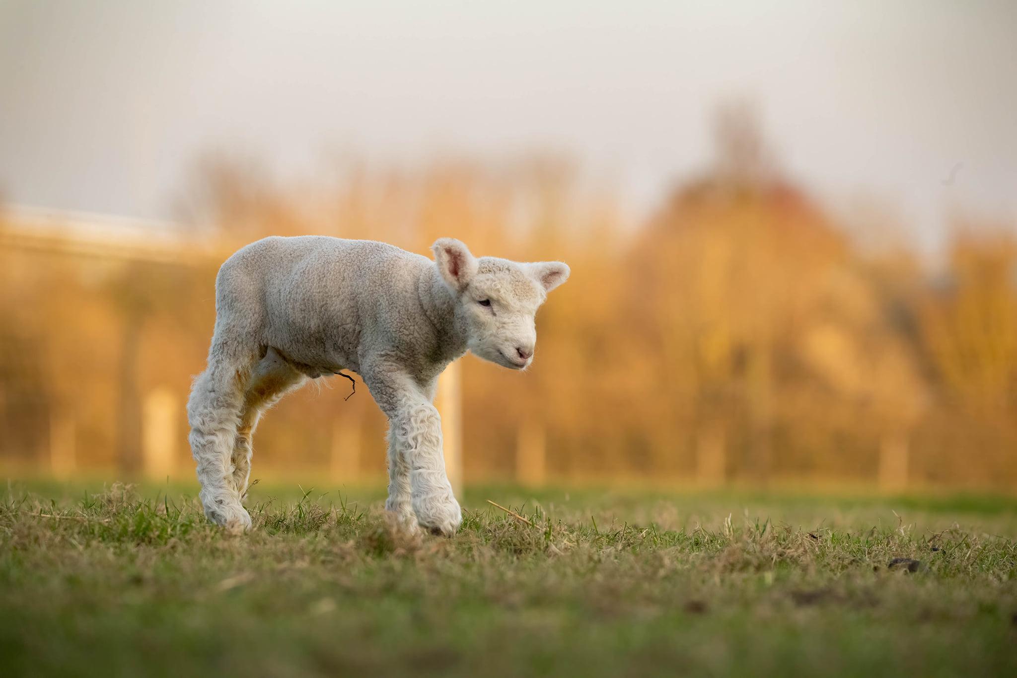 lamb 8