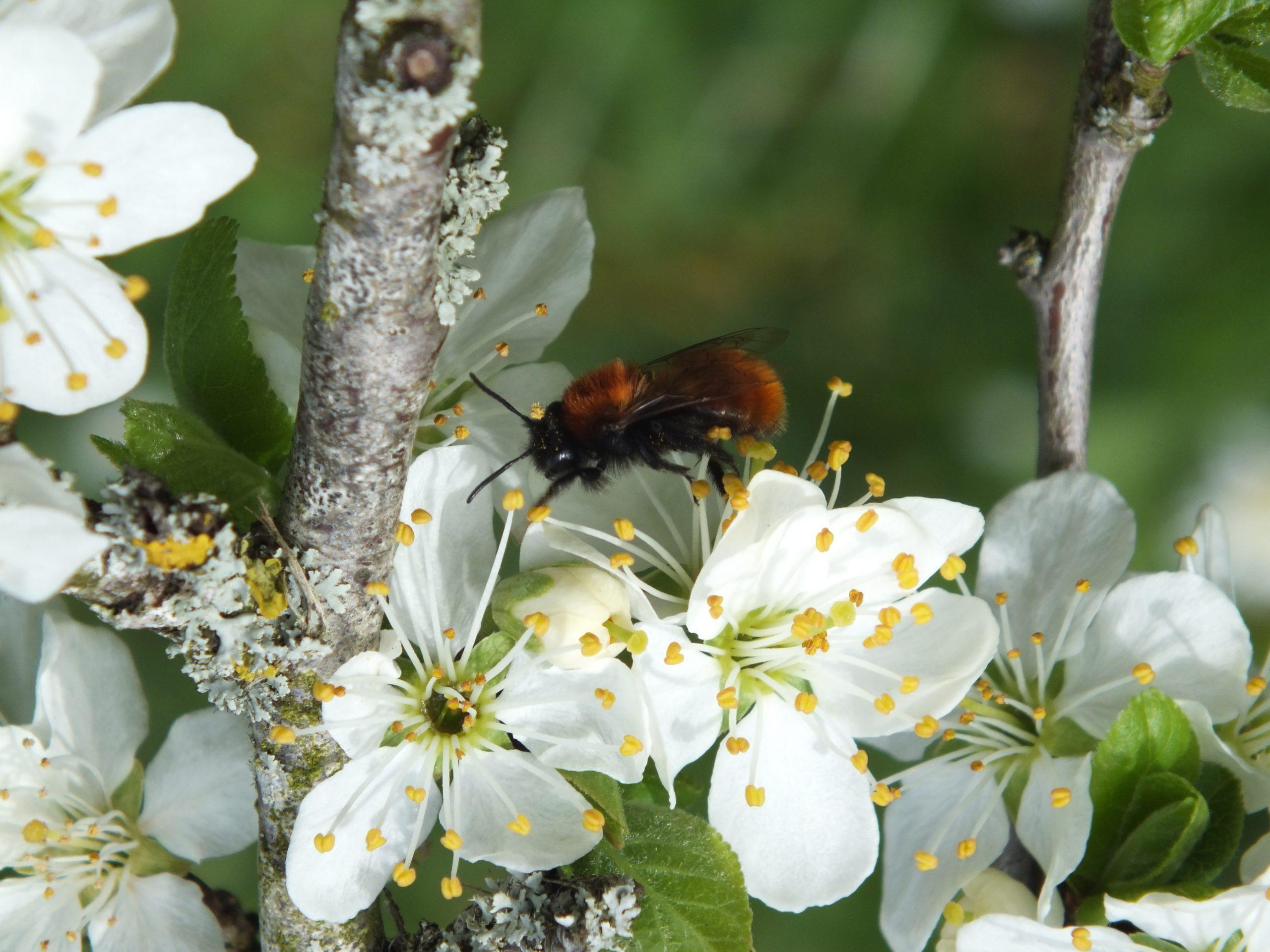 Tawny-Mining-Bee-Andrena-fulva-31.3.21.The-Bassetts-Stroud.Female