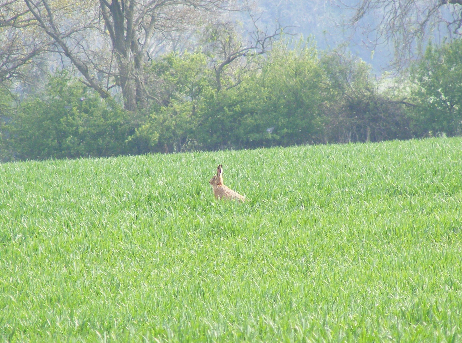 Brown-Hare-Lepus-capensis-1