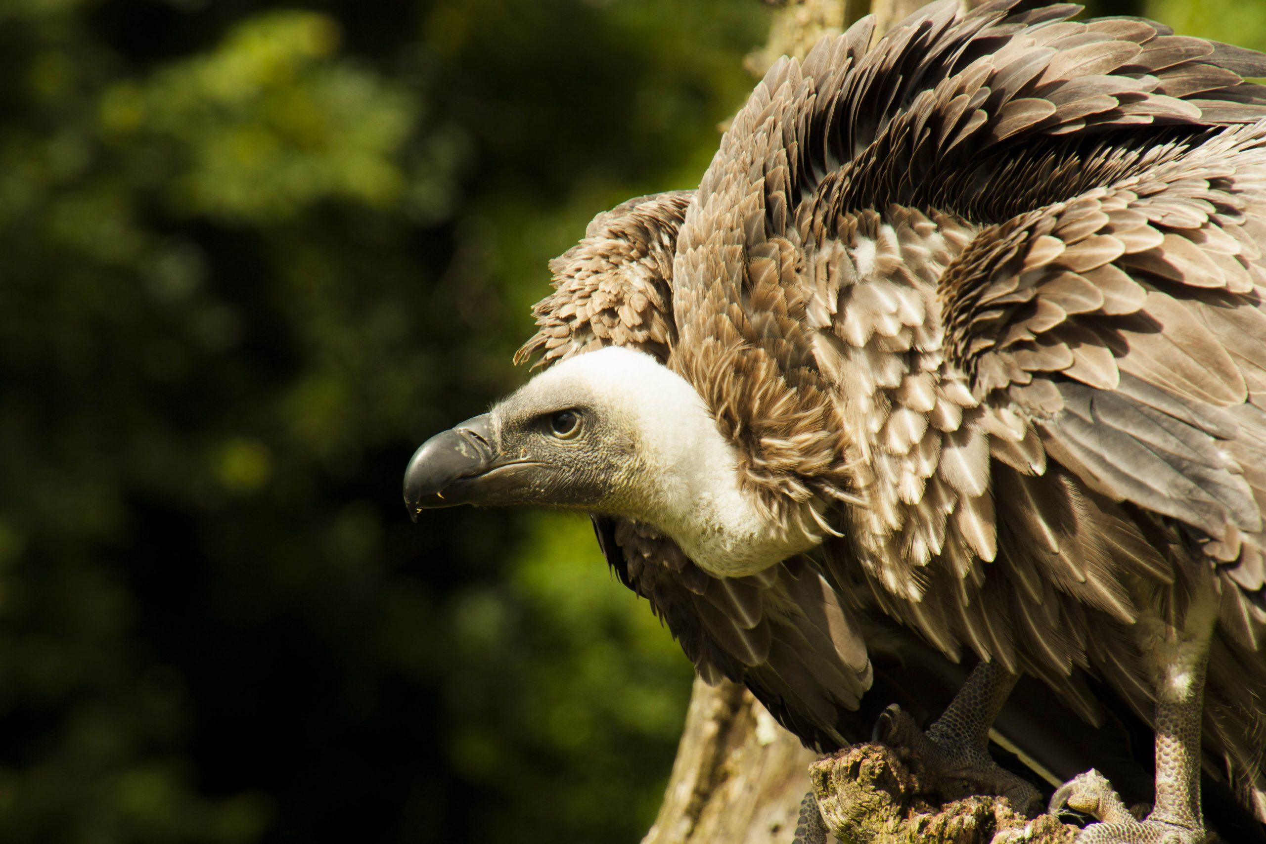 International Vulture Awareness Day (small)