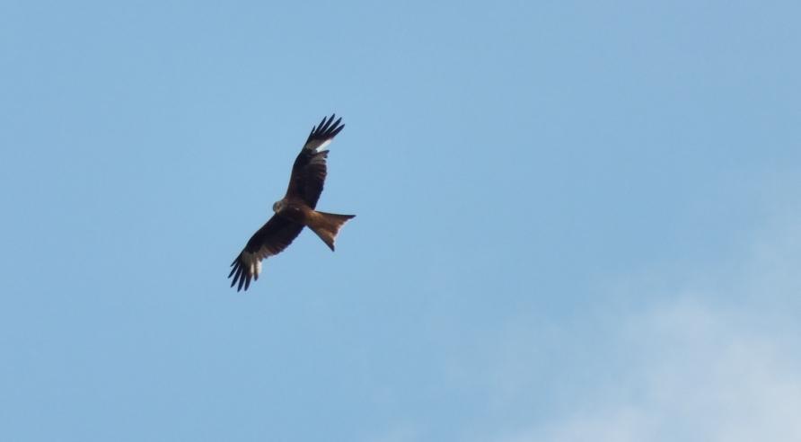 Red-Kite-24.7.13.Coombe-WoodLinkenholt.close-up-1