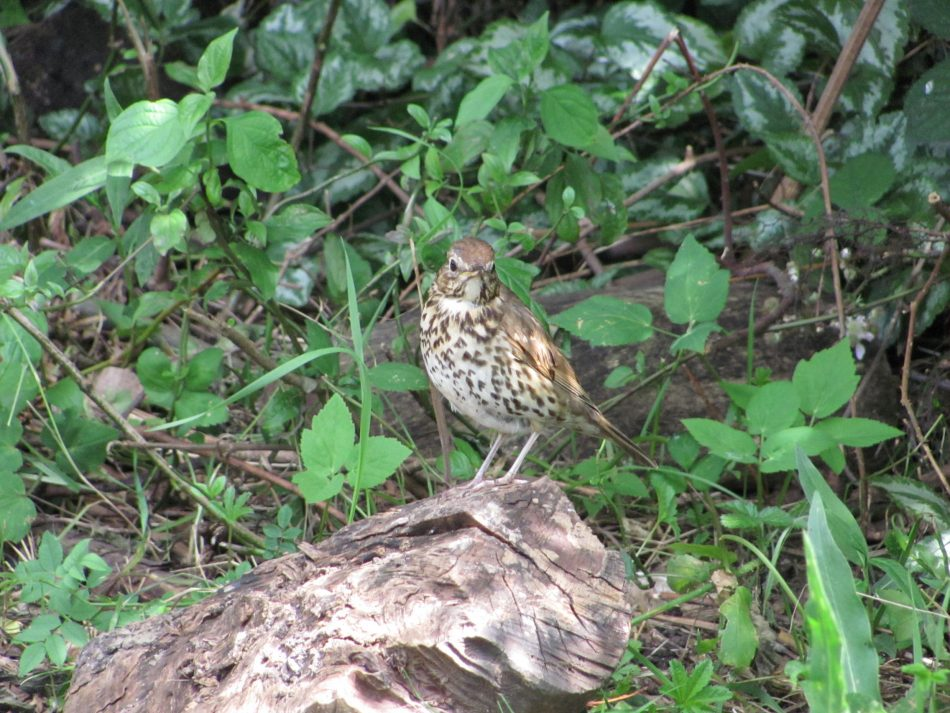 Song Thrush (Turdus philomelos) 29.6.19.Woodberry Wetlands