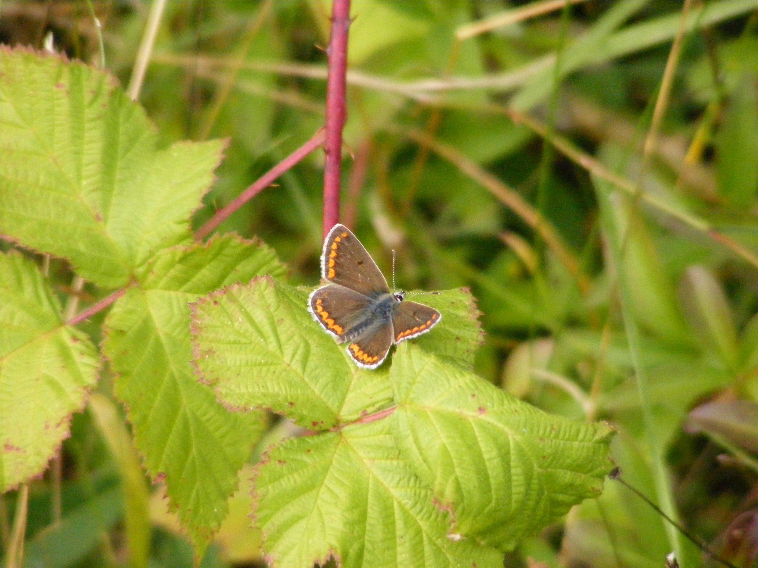 Brown-Argus-Butterfly-Aricia-agestis-24.8.14.Dunch-Hill-Salisbury-Plain