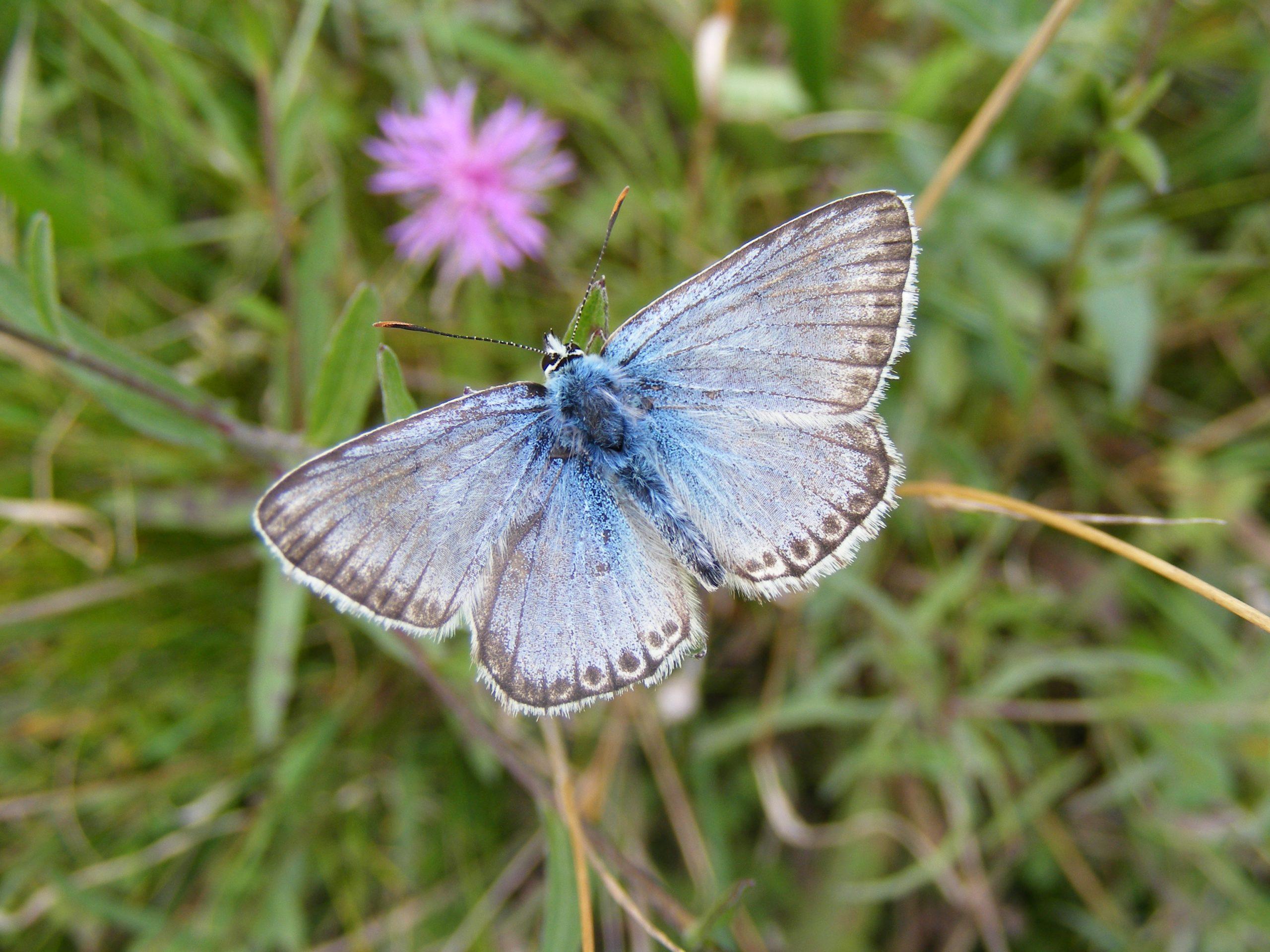 Chak-hill-Blue-Butterfly-Lysandra-coridon.Male-1