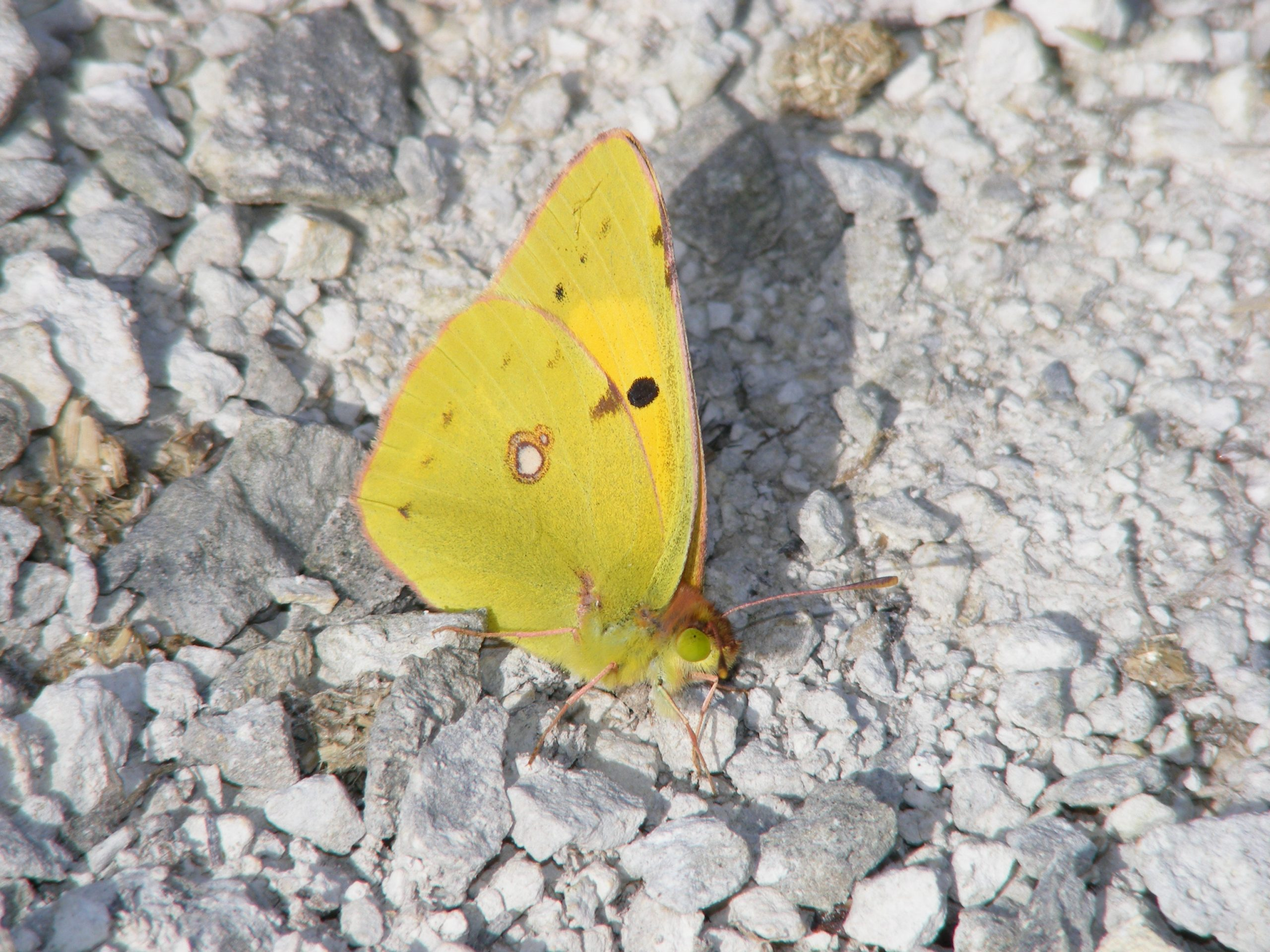 Clouded-Yellow-Butterfly-Colias-croceus-22.8.16.Magdalen-Hill