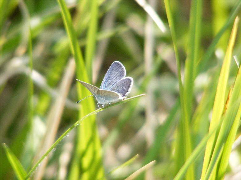 Small-Blue-Butterfly-Cupido-minimus-6